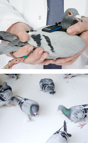 discover_pigeon_1