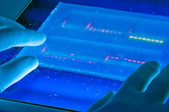 Agarose_gel_with_UV_illumination_-_Ethidium_bromide_stained_DNA_glows_orange_(close-up)