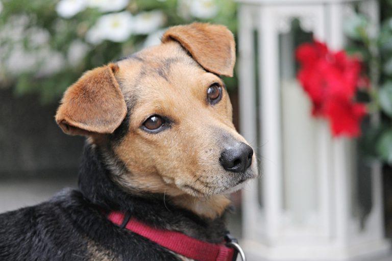 Hond Huisdier
