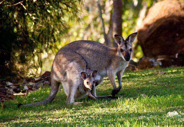 autonome auto's, kangaroe